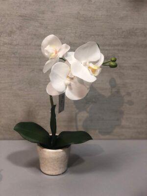 Orquídea Fanerosis Pequeña