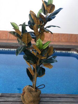 Ficus de 2 Colores